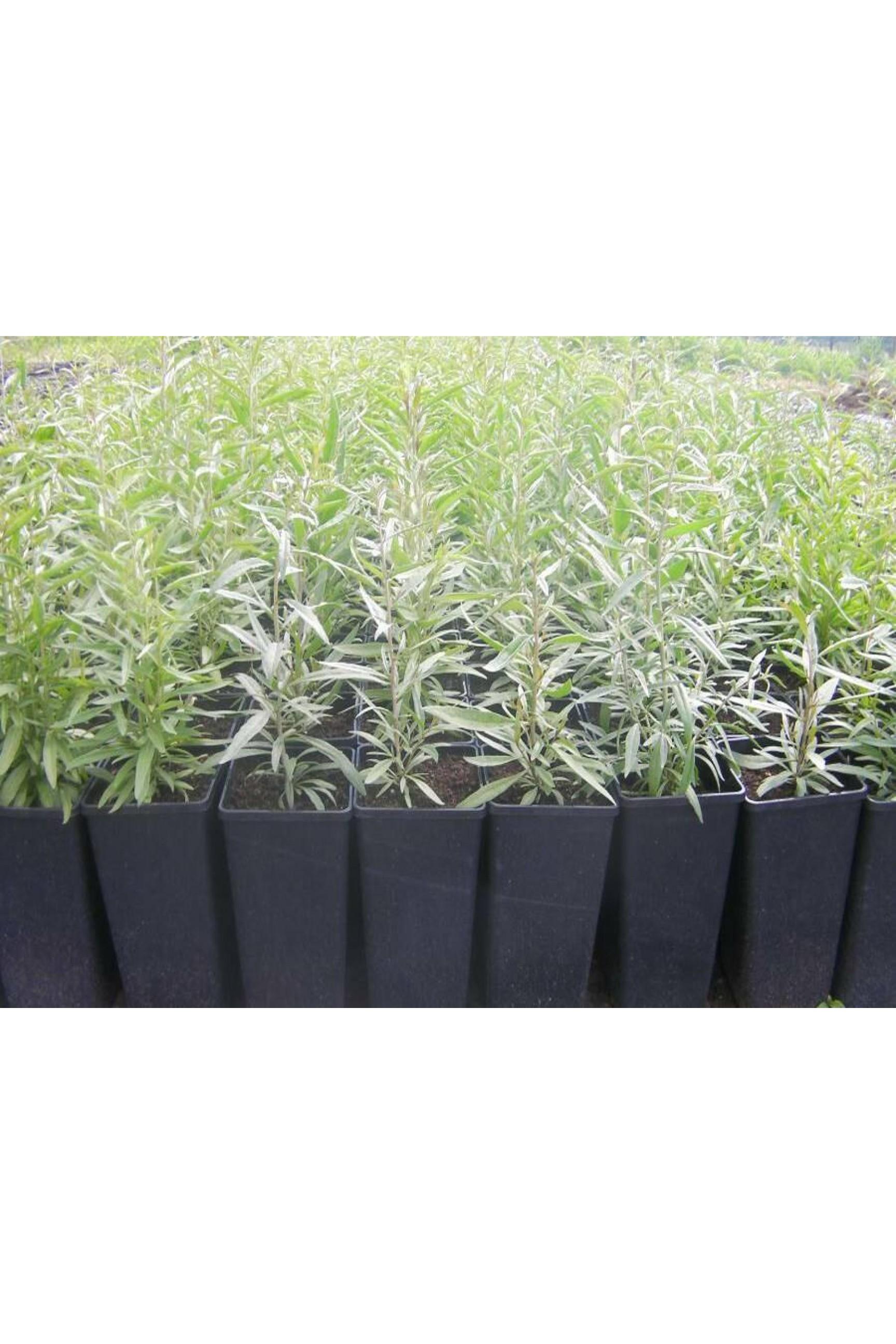 Plante Goji berry 10-40